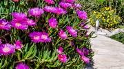 Растения суккуленты Budva